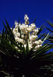 Mojave Yucca Royalty Free Stock Image