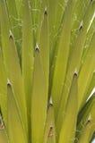Mojave yucca closeup Stock Photo