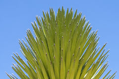 Mojave yucca Royalty Free Stock Photos