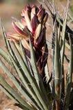 Mojave Yucca, Yucca schidigera Stock Photography