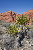 Mojave Yucca at Red Rock Canyon. Mojave Yucca (Yucca schidigera) growing in Red Rock Canyon, Nevada Stock Images