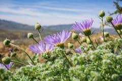 Mojaveaster Xylorhiza-tortifolia wilde Blumen, die in Joshua Tree National Park, Kalifornien blühen stockfotos