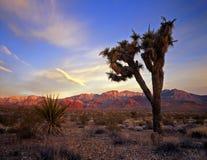 mojaveyucca пустыни Стоковая Фотография