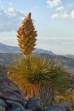 MojaveYucca (Yuccaschidigera) på solnedgången royaltyfria foton