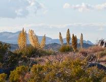 MojaveYucca (Yuccaschidigeraen) royaltyfria foton