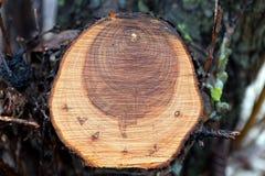 Moje aserrado abajo de árbol de pino caido Imágenes de archivo libres de regalías