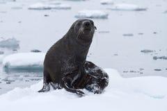 Moje el lobo marino que salió a la masa de hielo flotante de hielo en un día Imagen de archivo libre de regalías