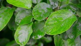 Moje el manzano de las hojas en lluvia almacen de video