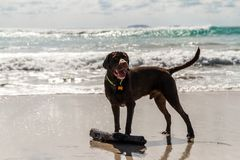 Moje Labrador marrón que se coloca en la playa con un palillo de madera en un día soleado Foto de archivo libre de regalías