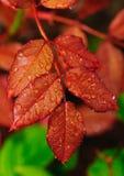 Moje las hojas Fotografía de archivo