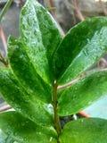 Moje las hojas Imagen de archivo