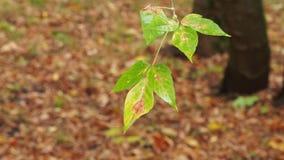 Moje las hojas del árbol de ceniza del arce en lluvia del otoño metrajes