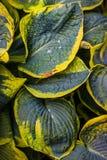 Moje las hojas del Hosta Imagenes de archivo