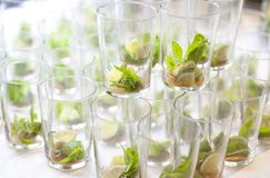 Mojito empty glasses with green leaves, sugar and lime stock images