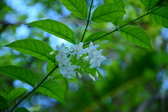 Mok flowers in thailand Stock Image
