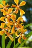 mokaraorchid Arkivfoto