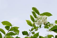 Moke blomma Fotografering för Bildbyråer