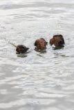 Mokeys de bébé nageant Photographie stock