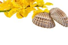 Mokkara jaunissent la fleur d'orchidée et la coquille de mer sur le blanc Images libres de droits