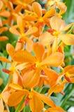 Mokkara Orchid Royalty Free Stock Image