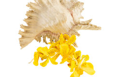Mokkara yellow Orchid flower with sea shell  isolated on white Stock Photography