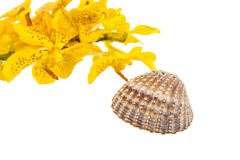 Mokkara yellow Orchid flower and Sea shell on white Stock Photo