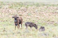 Mokra czarna wildebeest krowa, łydki i Obraz Royalty Free