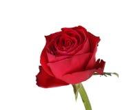 Mokra czerwieni róża. Obrazy Stock