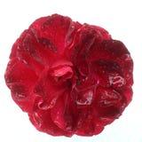 mokra czerwieni róża Obraz Stock