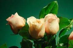 Mokra menchii róża kwitnie z kroplami wodny spływanie zestrzela Zdjęcie Stock