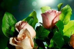 Mokra menchii róża kwitnie z kroplami wodny spływanie zestrzela Obrazy Stock