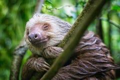 Mokra opieszałość ono uśmiecha się w Punta Uva, Costa Rican tropikalny las deszczowy zdjęcie stock