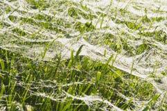 Mokra pająk sieć na trawie Zdjęcia Royalty Free