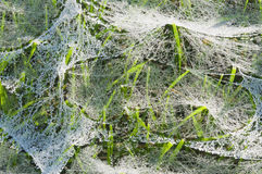 Mokra pająk sieć na trawie Fotografia Royalty Free