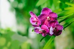 Mokra Purpurowa czerwona orchidea - Akcyjny wizerunek Obrazy Royalty Free