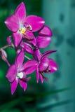 Mokra Purpurowa orchidea - Akcyjny wizerunek Zdjęcia Stock