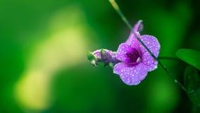 Mokra Purpurowa orchidea - Akcyjny wizerunek Obrazy Stock