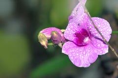 Mokra Purpurowa orchidea - Akcyjny wizerunek Obraz Stock