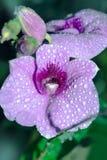 Mokra Purpurowa orchidea - Akcyjny wizerunek Obrazy Royalty Free