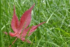 mokra trawa czerwień liści fotografia royalty free