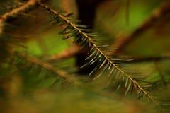 Mokra zieleni gałąź sosna fotografia royalty free