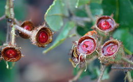 Mokre, czerwone gumowego drzewa dokrętki Angophora hispida, Obraz Royalty Free