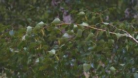 Mokre gałąź i brzoza liście w deszczu zbiory