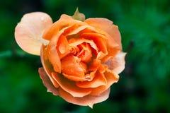 Mokrego róża kwiatu makro- fotografia Pomarańcz menchii kolory zdjęcie stock