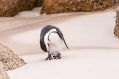 Mokry Afrykański pingwin Fotografia Royalty Free