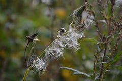 Mokry biały dandelion sia obwieszenie na suchej trawie w sieci Zdjęcie Stock