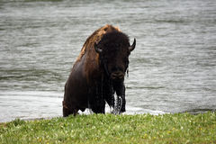 Mokry bizon Zdjęcia Royalty Free