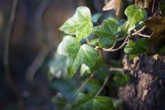 Mokry bluszcza liścia dorośnięcie na drzewie obrazy royalty free