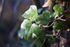 Mokry bluszcza liścia dorośnięcie na drzewie obraz royalty free