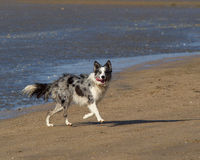 Mokry Collie bieg od morza na plaży Zdjęcia Stock
